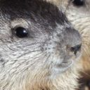 Getting the Groundhogs Out of a Rental House – Lebanon, TN